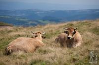 Aubrac cattle