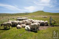 Sheep in the heat