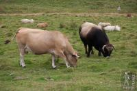 Aubrac bull and cow