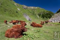 Salers cows in the Val de Courre