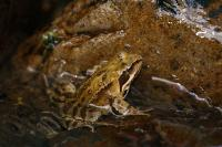 Brown frog in water