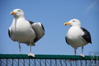 Great black backed gulls