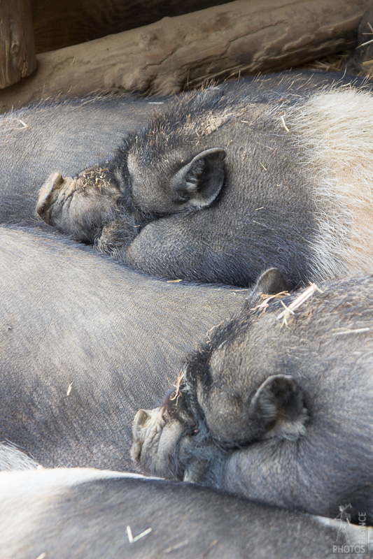 Twin pigs