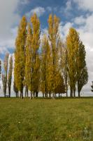 Poplars in Fall