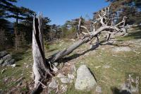 Dead tree at Bavella