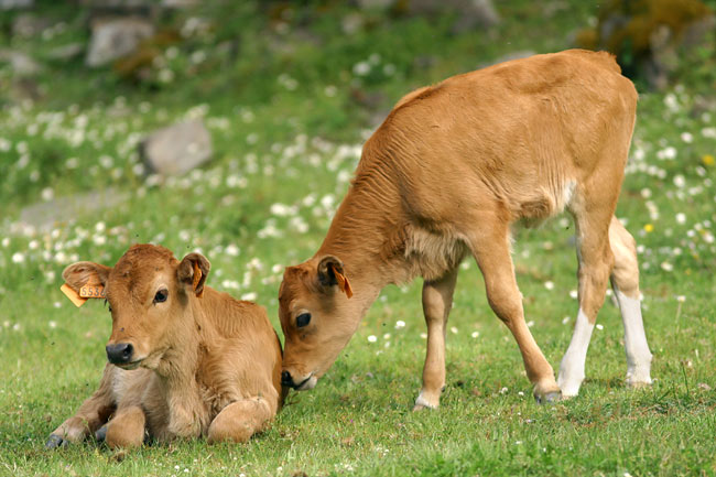 Calf brothers