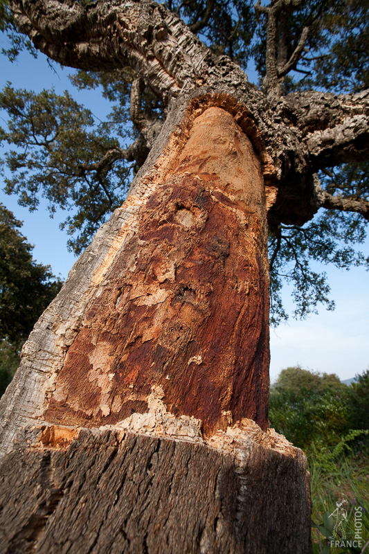 Mutilated cork oak