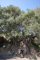 Oldest know olive tree