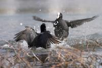 European coots fighting