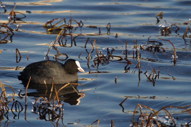 Coot in cold water