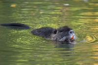 Yellow teethed muskrat