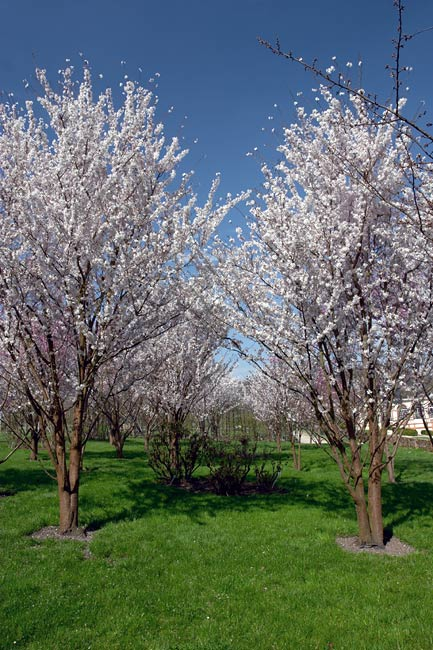 Orchard in bloom in the castle of Breteuil gardens