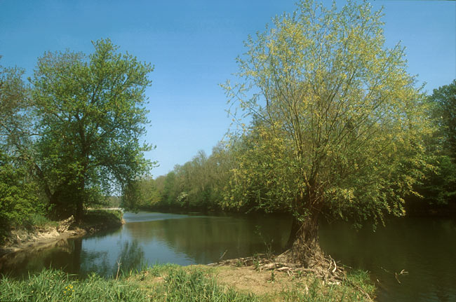 Willow tree on the Loing river
