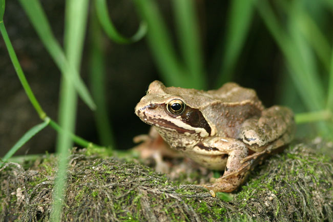 Quiet brown frog