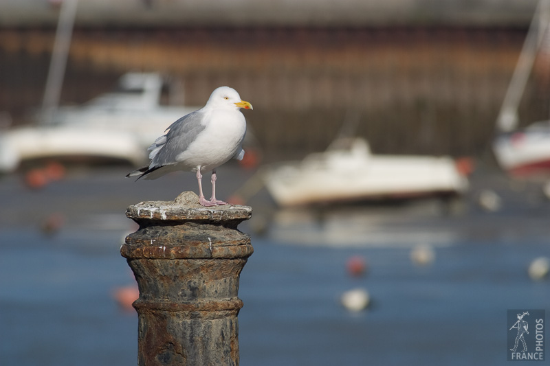 Patient herring gull