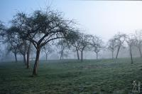 Orchard in fog